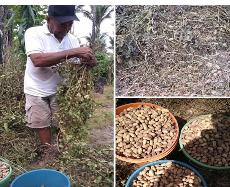 Potencial produtor de Amendoim em Morada Nova/União