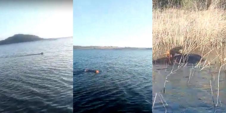 Onça é flagrada nadando na barragem em Patos do Piauí; assista o vídeo