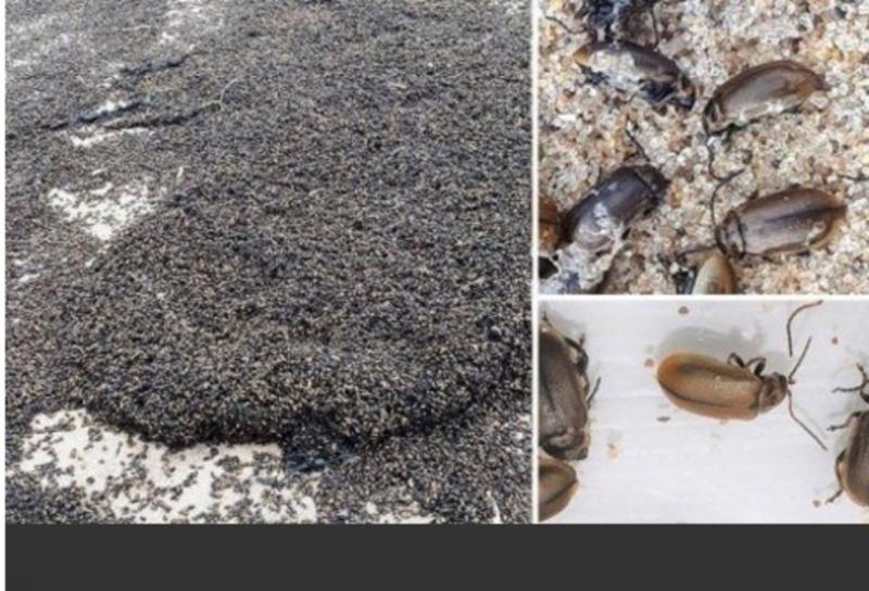 'Corrente' de insetos invade praia e causa pânico em banhistas