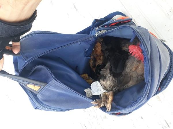 Polícia recupera mochila com várias galinhas roubadas no Sul do Piauí